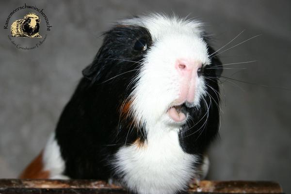 Meerschweinchen aus eingetragener & » Kleintiere