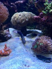 Meerwasser Baggergrundel Paar