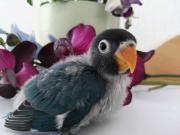 Mini edel Papagei