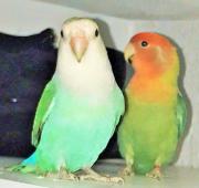 mini Papagei pärchen