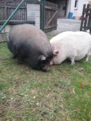 Minischweine suchen neues