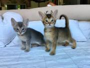 Mix kitten - Abessinier