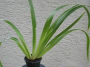 Neomarica Brasilianische Iris Wanderiris Mirabilis
