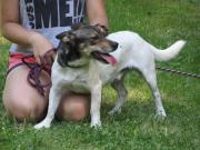 OSKAR Jack Russel Terrier - intelligent