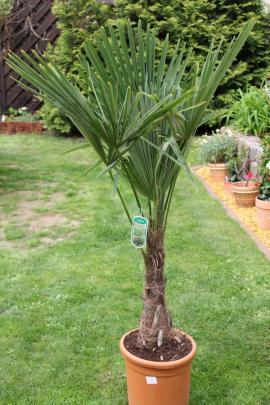 Palme Trachycarpus Fortunei: Kleinanzeigen aus Berlin Buckow - Rubrik Pflanzen