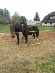 Ponyhengst