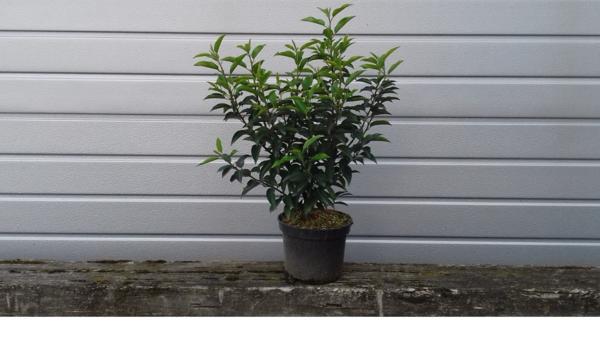 portugiesischer lorbeer 70cm angustifolia in braz pflanzen kaufen und verkaufen ber. Black Bedroom Furniture Sets. Home Design Ideas