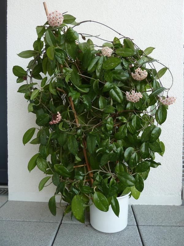 porzellanblume hoya carnosa wachsblume in f rth. Black Bedroom Furniture Sets. Home Design Ideas