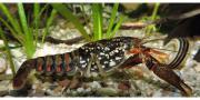 Procambarus Pictus *selten*