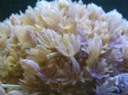 Pumpende Xenien -Korallen-