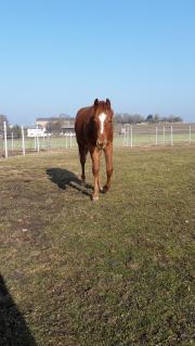 Quarter Horse mit