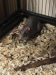 Ratte abzugeben