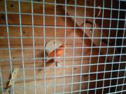 Roter Kanarienvogel
