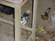 Samara Hühner kleinste