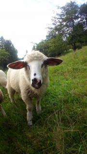Schaf, Merino