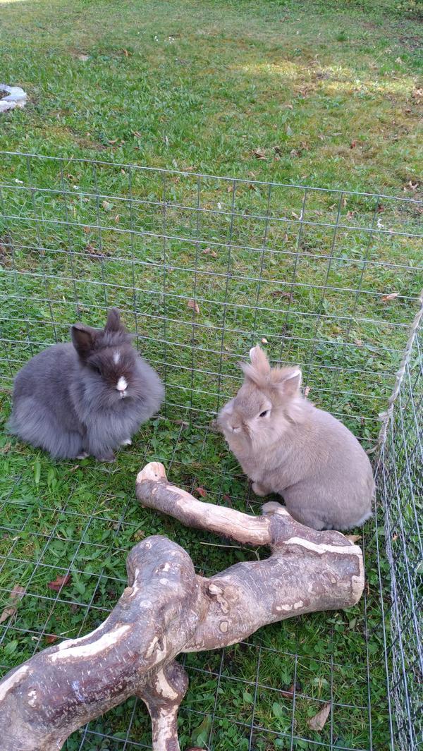 Süßes Zwergkaninchen Paar ( » Kleintiere