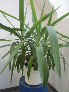 Pflanzen - Sukkulenten Gasteria Euphorbia Yuccapalme Schusterpalme