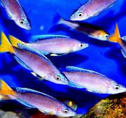 Tanganjika Cyprichromis leptosoma mpulungu blue
