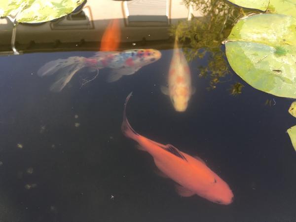 Goldfische shubunkin neu und gebraucht kaufen bei for Teichfische bestellen