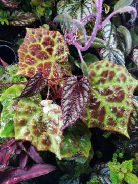 Reptilien, Terraristik - Terrarium Pflanze Begonia Begonie Rajah
