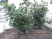 Thuja Heckenpflanzen von