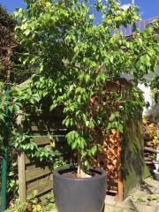 Traumhaft schöner Ficus