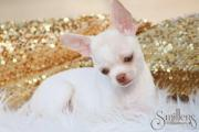Traumhafte Chihuahua Kurzhaar