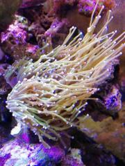 Verkaufe Corale