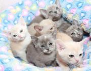 Verschmuste Burma-Katzenbabies -