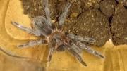 Vogelspinnen Nachzuchten/ Brachypelma