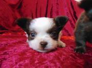 weiß schoko Chihuahua