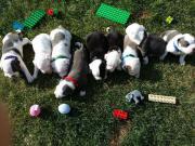 Welpen Miniatur Bulldoggen