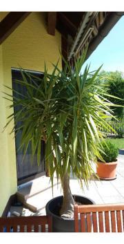 winterharte palmen pflanzen garten g nstige angebote. Black Bedroom Furniture Sets. Home Design Ideas
