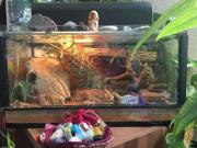 wipergecko