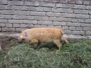 Wollschweinläufer günstig abzugeben