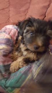 Yorkshire Terrier 10