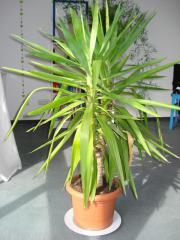 yucca palme in frankfurt pflanzen kaufen und verkaufen ber private kleinanzeigen. Black Bedroom Furniture Sets. Home Design Ideas