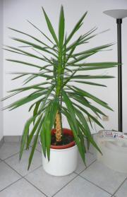 yucca palme gebraucht kaufen nur noch 3 st bis 70. Black Bedroom Furniture Sets. Home Design Ideas