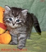 Zuckersüße Sibirische Katzen