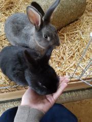 Zwei Kaninchen, Hasen