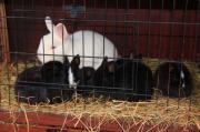 Zwergkaninchen Hermelin (Kaninchen,